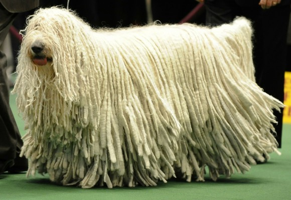 Un Komondor espera durante la 135a Westminster Kennel Club Dog Show en el Madison Square Garden. Foto: Timothy A. Clary