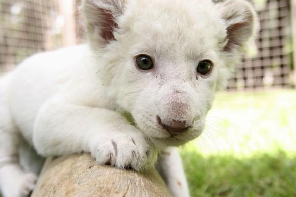 León blanco centro de atención en zoológico de México