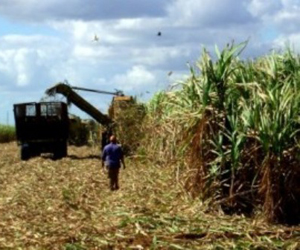 Cuba aumenta en 3 por ciento su producción azucarera.