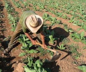 campesino-cubano