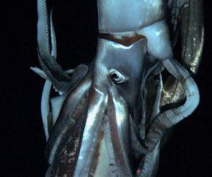 Fotograma del video del calamar gigante grabado por CHK y Discovery. Foto: AFP