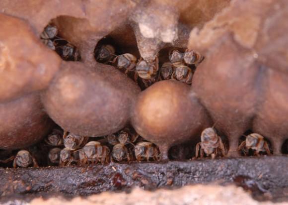 Núcleo o panal de abejas Meliponas o abejas de la tierra, en Sancti Spíritus, Cuba, el 25 de enero de 2013. AIN FOTO/Oscar ALFONSO SOSA