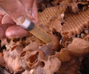 Extracción de miel de un núcleo o panal de abejas Meliponas o abejas de la tierra, en Sancti Spíritus, Cuba, el 25 de enero de 2013. AIN FOTO/Oscar ALFONSO SOSA