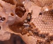 Núcleo o panal de abejas Meliponas o abejas de la tierra, en Sancti Spíritus, Cuba, el 25 de enero de 2013. AIN FOTO/Oscar ALFONSO SOSA/