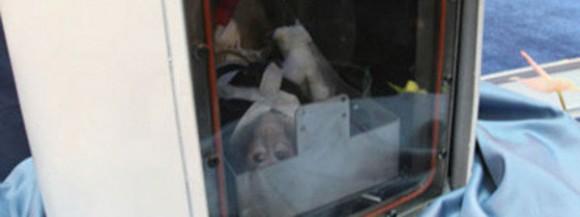 Irán anunció de este modo en agosto de 2012 el lanzamiento de un mono al espacio. En la foto se ve al primate detrás del cristal de una parte del satélite enviado. Foto: RT.