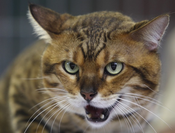Chester a most popular cat, reacts during a regional cats exhibition in Havana