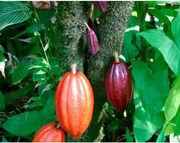 fotos-arbol-cacao-original-valles-fluviales-sudamerica-posteriormente-llevado-mexico-mayas-siglo-vii___2908-1297