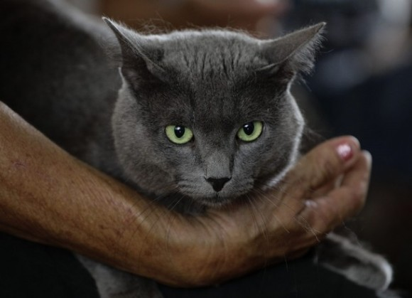 A Cuban Blue cat is pictured in Havana