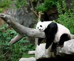 panda duerme3