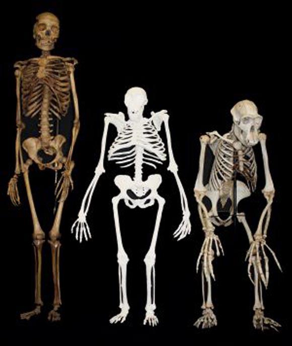 Los esqueletos de una pequeña hembra de 'Homo sapiens' (izquierda), de un 'A.Sediba' (centro) y de un chimpancé ('Pan troglodytes'). Foto: Lee R. Berger.