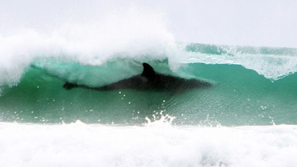 A primera vista parece un tiburón, pero es una orca surfeando. Foto Barcroft Media Getty Images