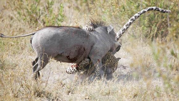 Cuando la jabalí estaba gravemente herida, una hiena que no tenía nada que ver en la historia,. El ataque de la hiena sorprendió al felino, que ya estaba cansado a causa de la lucha. Foto Barcroft MediaGett