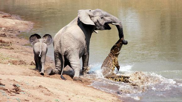 El fotógrafo Martin Nyfeler viajaba por el Parque Nacional Luangwa Sul cuando registró la escena. Foto Barcroft Media Getty Images