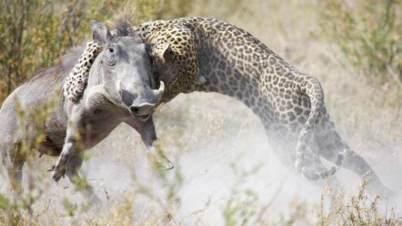 Este jabalí fue sorprendido por el ataque de un leopardo en el río Kwando, en Botswana. Foto Barcroft MediaGetty Images