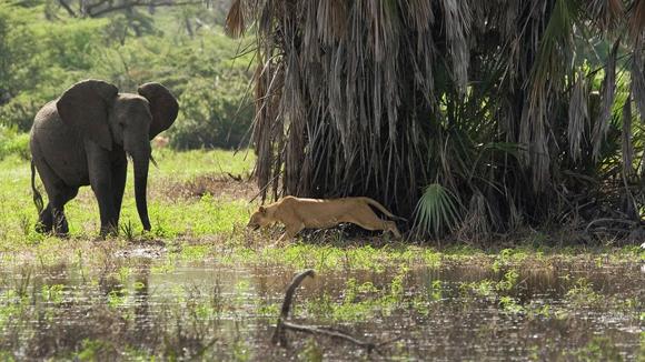 """La cámara captó el momento en que se cruzaban dos """"pesos pesados"""" de la selva. Foto: Barcroft Media/Getty Images."""