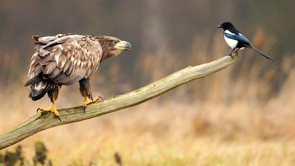 """Ocurrió en Polonia. Un diminuto pájaro llamado Pica Pica """"desafió"""" con absoluto descaro a la mismísima águila. Foto: Barcroft Media/Getty Images."""