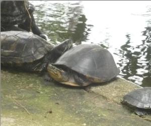 Identifican nueva especie de tortuga