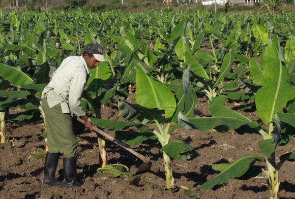Impulsan labores productivas campesinos guaimareños
