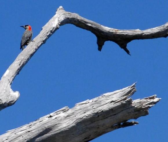 Pájaro Carpintero, una de las especies que forma parte de la fauna de la Península de Guanahacabibes en el extremo más occidental de Cuba.Abel  PADRÓN PADILLA/
