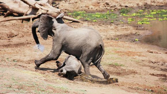 l final el cocodrilo desistió. Según Nyfeler, la elefanta fue vista al final del día bien después del ataque. Foto Barcroft MediaGetty Images