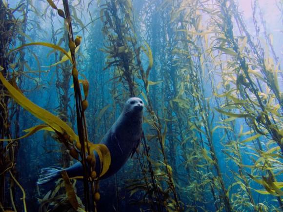 Foca (Phoca vitulina) en el bosque de Kelp en Cortes, cerca de San Diego (Estados Unidos).