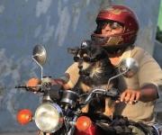 """el perro """"Popy"""" se pasea por las calles de La Habana en moto"""