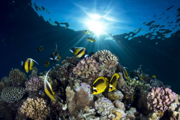 Chaetodon lunula y pomacanthidae en un arrecife del Mar Rojo, cerca de Sharm el Sheik, Egipto. Foto: Pietro Cremone (Tercer Premio Categoría Ángulo Salvaje).