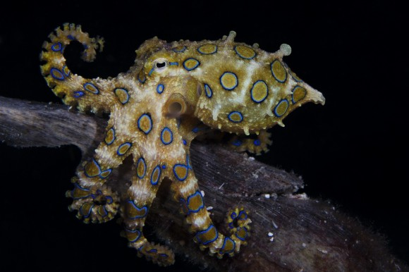 Un pulpo (Hapalochlaena lunulata) cerca de la isla de Malapascua, Filipinas. Foto: Marcello Di Francesco (Segundo Premio Categoría Retrato).