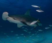 Tiburón martillo gigante (Sphyrna mokarran) en Bimini, Bahamas. Foto: Laura Rock (Segundo Premio Categoría Estudiante).