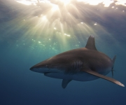 Tiburón oceánico (Carcharhinus longimanus) cerca de Cat Island, Bahamas. Foto: Austin Gallagher (Tercer Premio Categoría Estudiante).