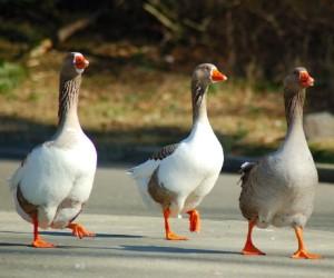 La-marcha-de-los-gansos.1