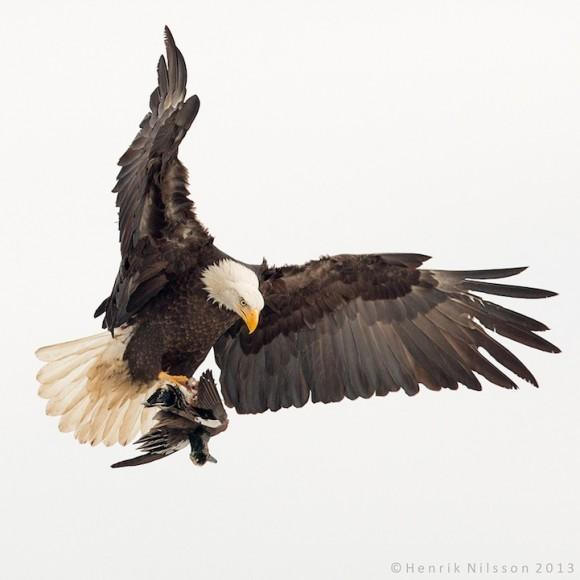 Águila calva y pato. Foto: Henrik Nilsson.
