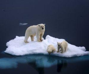 Una familia de osos polares atrapada en un iceberg por el deshielo. / Dennis Bromage / Barcroft Media /Cordon Press