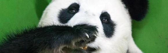 oso pandas