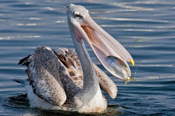 Depredaci n vs supervivencia cubadebate - Fotos de pelicanos ...