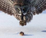 Búho y ratón. Foto: Tom Samuelson.