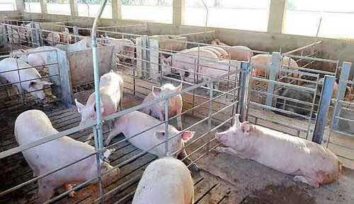 Los criaderos de cerdos son una importante fuente contaminante