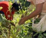 Según un informe de la ONU, los cultivos de coca se redujeron en 25 % durante 2012.