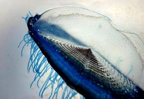 Velella velella, conocidas como Las medusas velero.