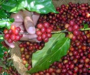 En alza productiva cosecha de café en Santiago de Cuba.