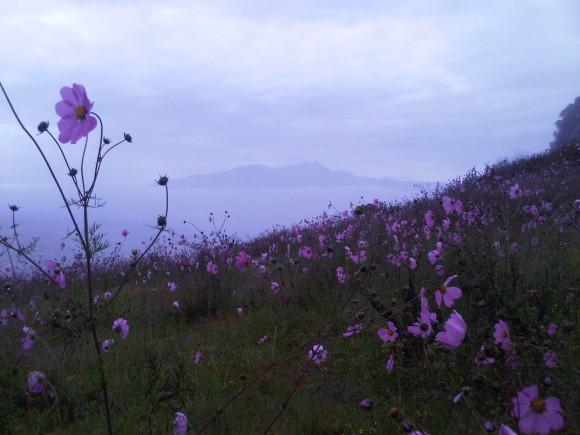 La mirasol rosa que florece durante los meses de septiembre y octubre, esta flor es silvestre y crece en los llanos y cerros del estado de México. Imagen tomada en el parque Sierra Morelos muy cerca de la ciudad de Toluca capital del estado de México y tiene como fondo el majestuoso volcán