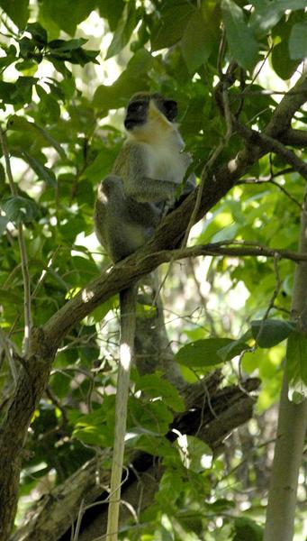 Un ejemplar de mono verde captado por el lente en áreas del Instituto de Ecología y Sistemática. Autor: Roberto Morejón Guerra