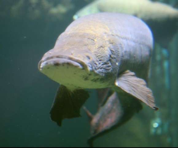 Revelan pez dotado con un blindaje anti-pirañas