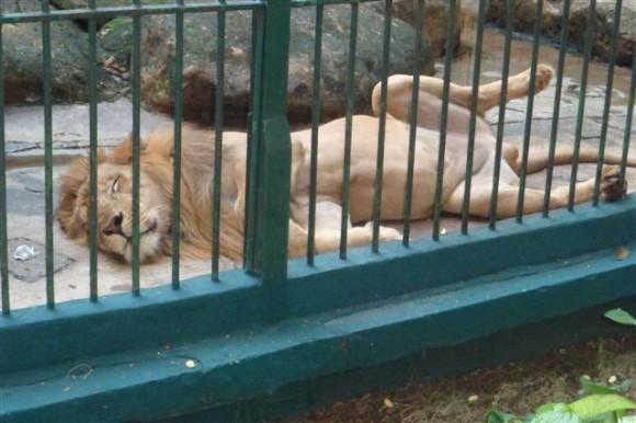 Descanso leonino en el Zoo de 26. La Habana. Foto: Alfredo Paneque