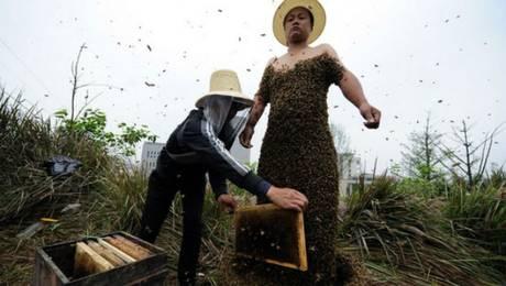 China, abril de 2012. El apicultor chino Ella Ping cubrió su cuerpo con 331.000 abejas (33 kilos) para batir el récord anterior de 26,7 kilos de abejas sobre un cuerpo humano. Foto: AFP
