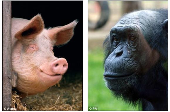 chimpance cerdo