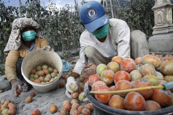Trabajo en el campo pese al volcán. Foto: AFP.