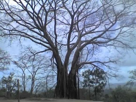 Árbol que habla. Sus ramas se rozan, crujiendo y pareciera como que te hablaran, este es un árbol típico de Timor Leste en Oceanía. Foto: Dra Lisete, La Habana