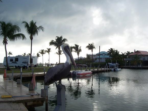 Foto de Pelicano, tomada en Cayo Maraton, Florida. Foto: Migdalia Milagros Romero Doger