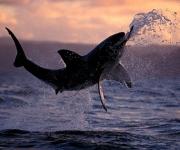 Tiburón Blanco (7)